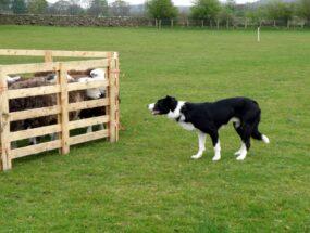 sheepdog-penning46bc