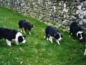 sheepdogs-closingfcd6